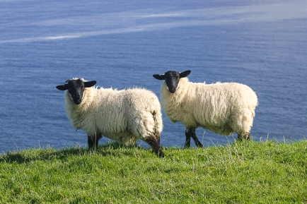 lthubbard-sheep-0219